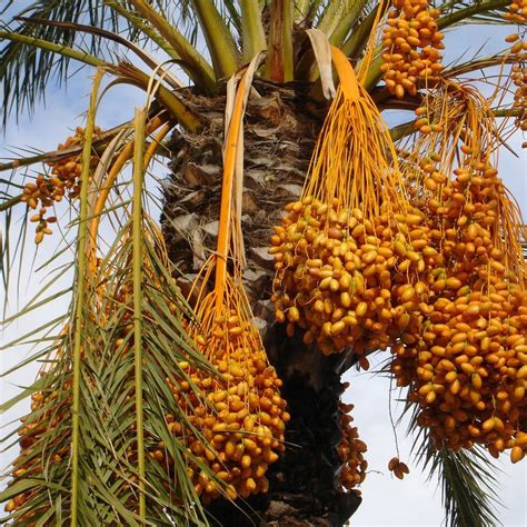 palm tree orange fruit date palm facts the date palm tree fruits are fruit