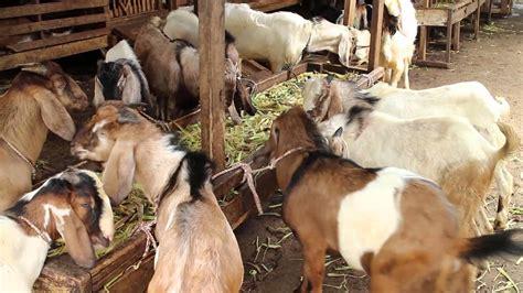 Anakan Kambing Di Jawa Tengah jelang hari kurban quot salon kambing quot suhardi laris manis