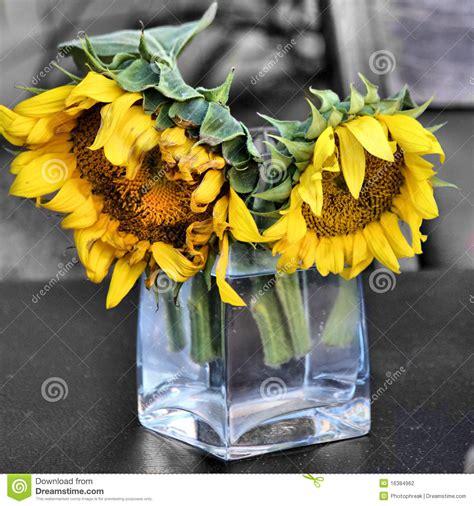 girasole in vaso due girasoli in vaso di vetro fotografia stock immagine