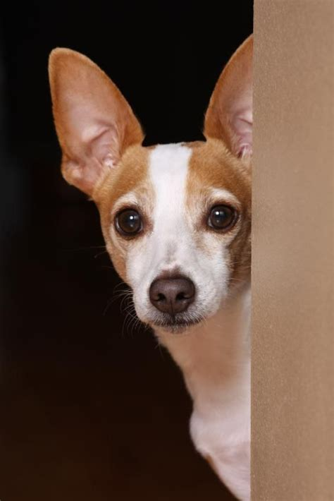 rat terrier dogs best 25 rat terrier puppies ideas on