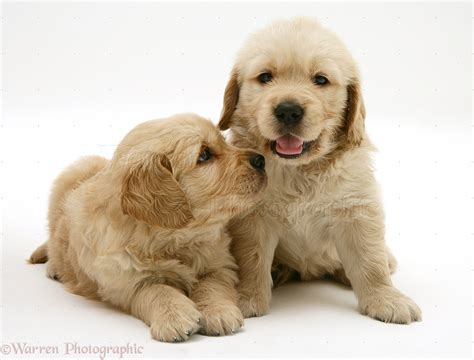two golden retriever puppies dogs two golden retriever puppies photo wp33035