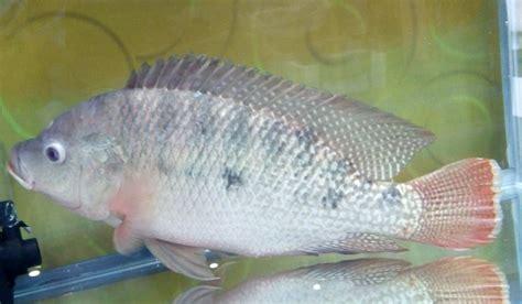Bibit Ikan Nila Gmt nila gmt nila sultana baru bebeja