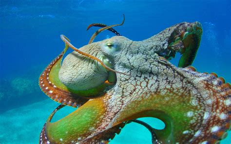 colorful octopus wallpaper octopus close colors of octopus tentacles eyes wallpaper