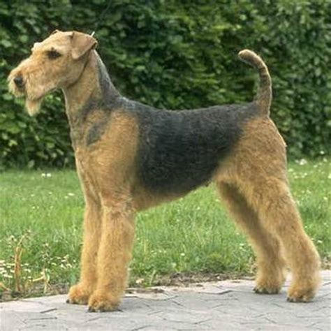 largest yorkie the airedale is a terrier from but unlike the tiny yorkie is the largest of