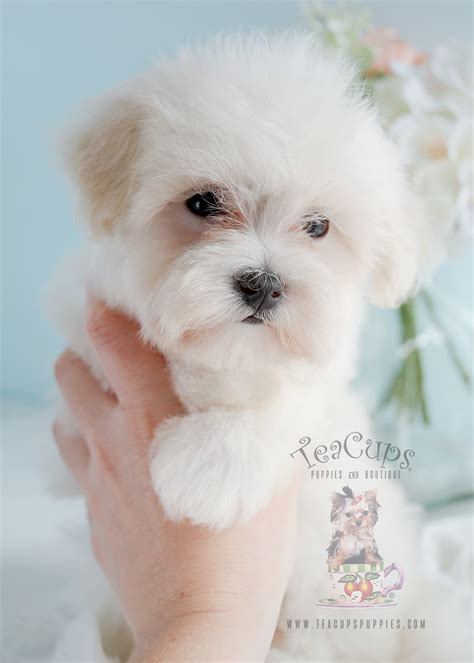 teacup puppies florida maltese poodle mix in florida teacups puppies boutique