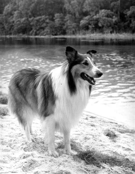 Lassie – Wikipédia, a enciclopédia livre
