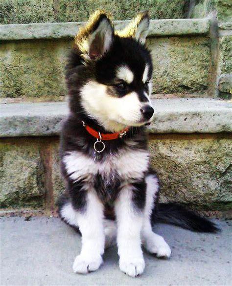 miniature husky puppies how to pet parent mini husky puppies the most effective ways nolongerwild