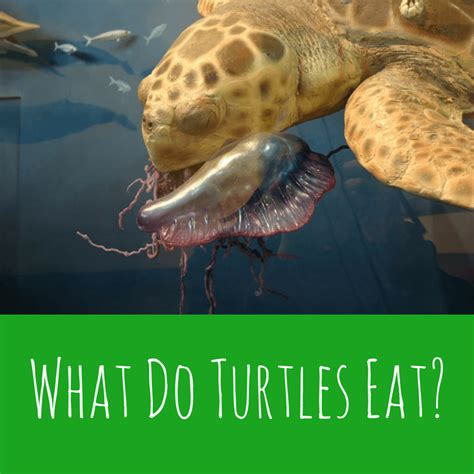 Do Turtles Need A Heat L by What Do Turtles Eat Turtleholic