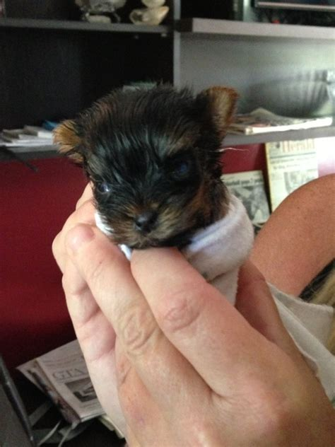 yorkie world tiny yorkie near alliston could be world s smallest ctv barrie news