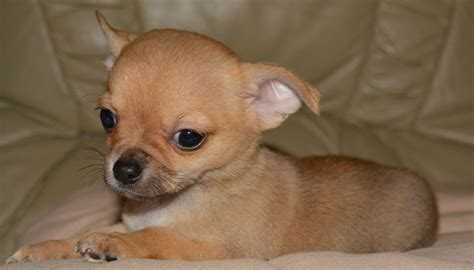 chihuahua puppy names deer chiwawa breeds picture