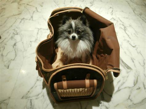 Hugo For Pom Hugo Is Ready For Take Pomeranian In Louis Vuitton