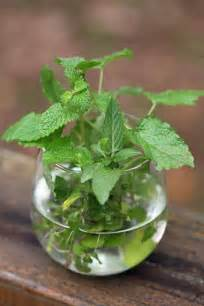 how to grow a mint plant from cuttings lady lee s home