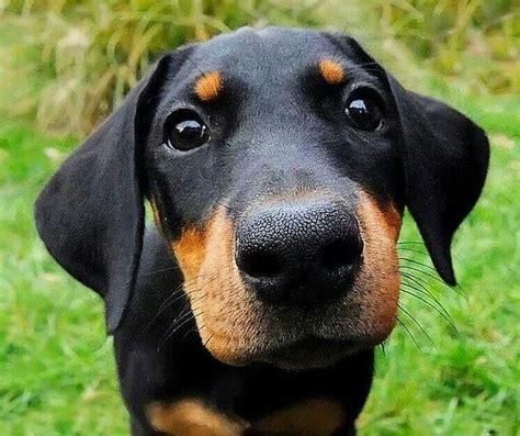 doberman puppy 25 лучших идей на тему 171 doberman в