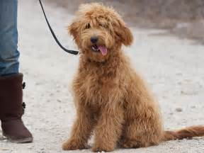 golden retriever with poodle goldendoodle golden retriever poodle bored panda