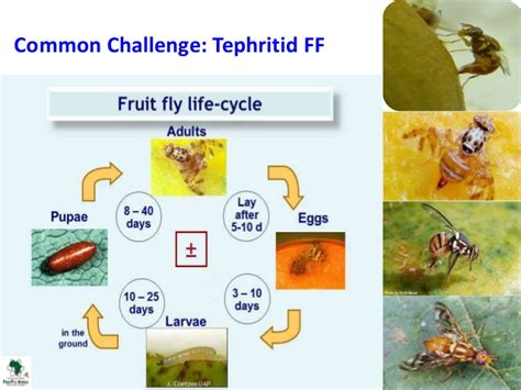 fruit fly lifespan mango fruit fly cycle all the best fruit in 2018