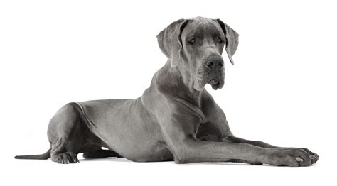 grey great dane puppy great dane dogs breed information omlet