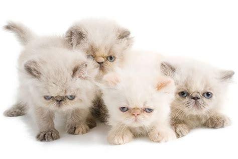 wallpaper persian cat persian cat wallpapers hd download
