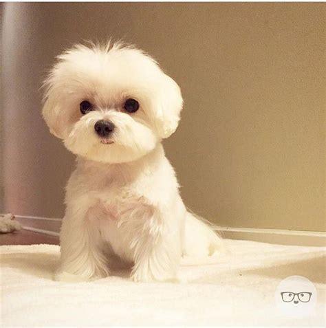 pictures of maltese dog haircuts awwwww cute stuff pinterest maltese dog and animal