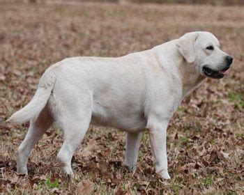 golden retriever dallas tx 143 best images about possible sdp on lab puppies white lab and therapy dogs