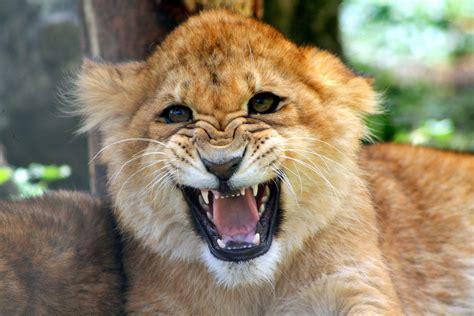 imagenes leones rugiendo cachorro le 243 n rugiendo hd 4272x2848 imagenes
