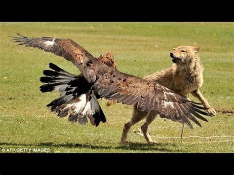 imagenes de leones y aguilas 193 guila mata coyote youtube