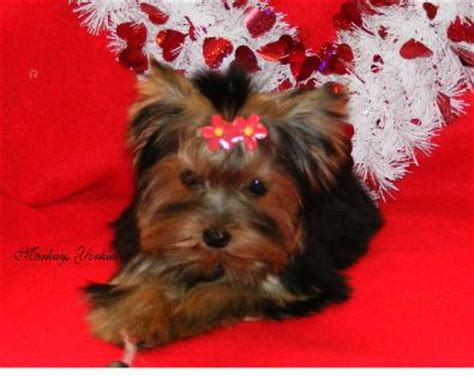 yorkie labor and delivery yorkie wisconsin minnesota breeder teacup yorkie puppies for sale