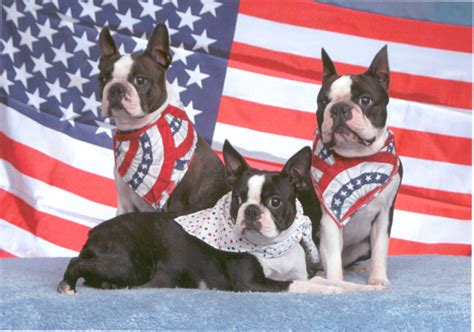 greensboro golden retriever rescue boston terrier puppies wilmington nc dogs in our photo