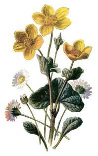 marigold clip art vintage flower illustration yellow