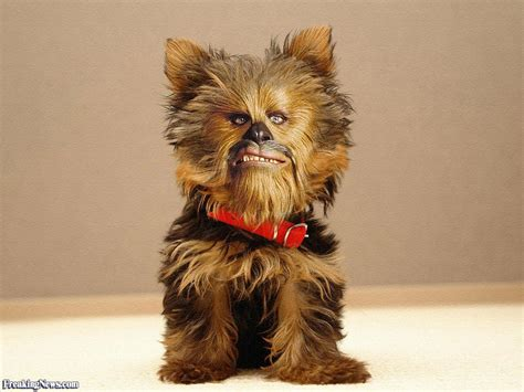 chewbacca puppy chewbacca s pictures