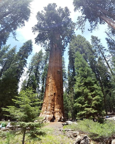 general sherman tree sequoia national park in california sequoia national park kings canyon national park to