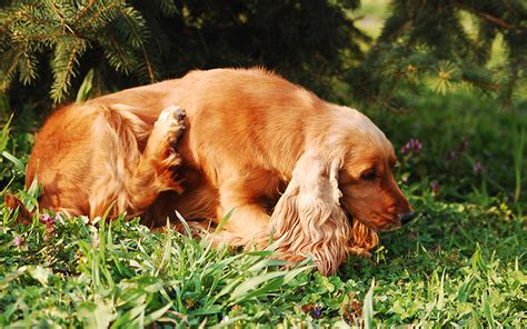 peppermint for dogs is peppermint secure for canine and does it kill or repel fleas pets lover