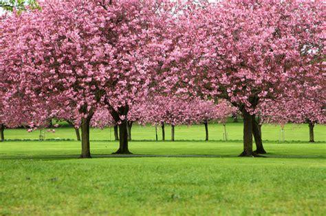 6 cherry tree groveland ma un 225 rbol japon 233 s im 225 genes taringa
