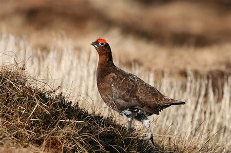 types of grouse bird family overview the rspb