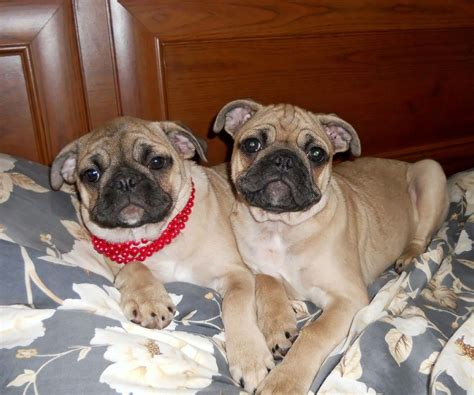 pug cross bulldog for sale 2 bulldog and pug cross burton upon trent staffordshire pets4homes
