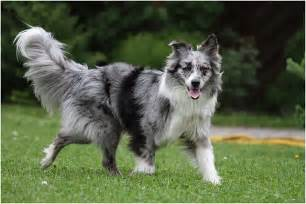 Australian Shepherd Vs Collie » Home Design 2017