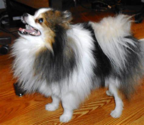 pomeranian breeders in oklahoma pomeranian puppy in konawa oklahoma breeds picture