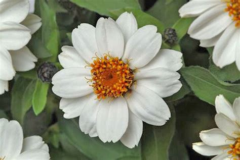 Zahara White tips for growing and caring for zinnia plants