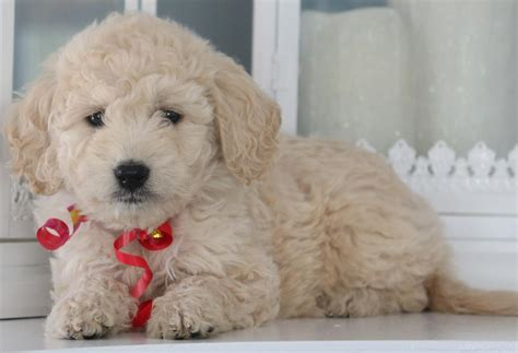 mini goldendoodles teddy f1b mini teddy goldendoodle puppies available