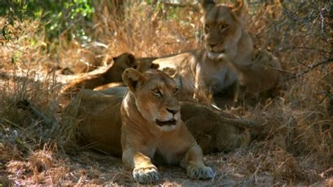 when a lioness growls a s pride books lioness botswana hd stock 692 485 028
