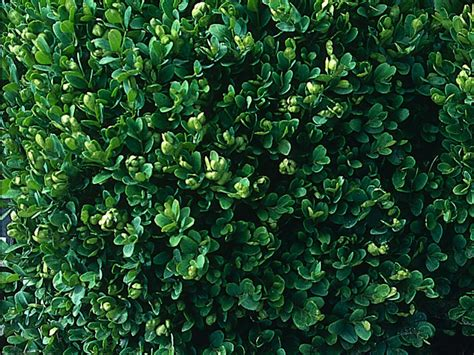 top 28 small shrubs for sun 6 best shrubs for full sun homemade by jaci best 25 evergreen