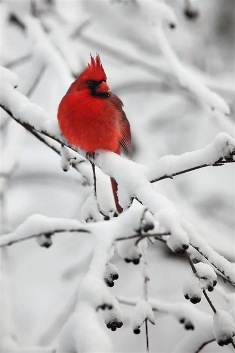 beautiful miss you and northern cardinal on pinterest