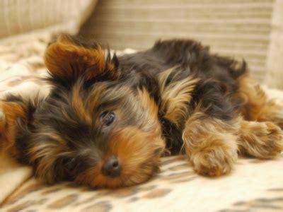 medium sized hypoallergenic dogs medium sized dogs that dont shed much hypoallergenic dogs breeds picture
