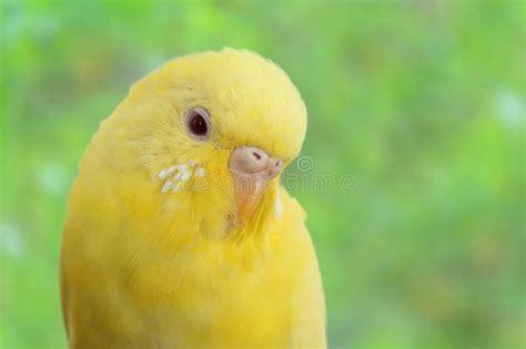 rhinelander canaries stock photo royalty yellow canary royalty free stock photo image 27309755