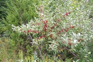 autumn olive bush autumn posters picture