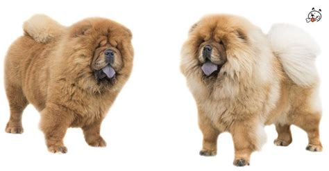 chow chow puppies for sale in nc best 25 chow puppies for sale ideas that you will like on bake sale
