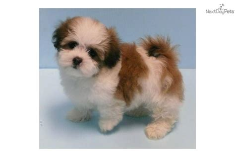 maltipoo puppies for sale in oklahoma malti poo maltipoo puppy for sale near tulsa oklahoma 3fcbc00c 3c71