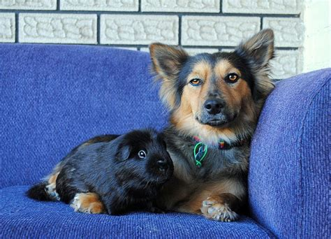 corgi german shepherd 6 adorable corgi mixed breeds that are almost to be real