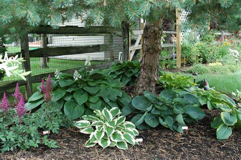 what trees to plant in backyard hostas under pine tree garden landscape pinterest