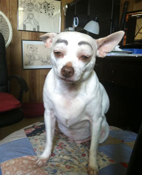 dogs with eyebrows 10 dogs with eyebrows bored panda