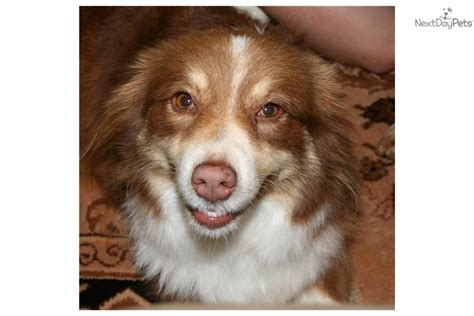 australian shepherd puppies for adoption miniature australian shepherd puppy for adoption near 1088c2c0 ad62